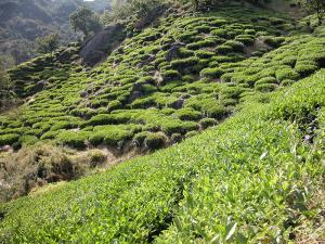 Hadong's high-quality green tea shipped to many foreign countries